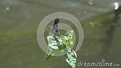 Belle Vierge de /Calopteryx de Demoiselle de libellule s'asseyant sur une feuille verte banque de vidéos