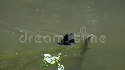 Belle Vierge volante de /Calopteryx de Demoiselle de libellule au-dessus du courant d'eau dans le mouvement lent clips vidéos