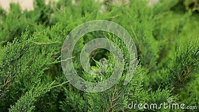 Belles branches vertes de cyprès, mouvement d'arborvitae dans le vent Jardin, été, plan rapproché banque de vidéos