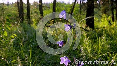 Belles fleurs d'Harebell violette, Campanula rotundifolia Closeup clip de fleurs sauvages indigènes de la forêt du Minnesota banque de vidéos
