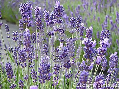Belles fleurs de lavande en pleine floraison image libre de droits image 9876616 - Floraison de la lavande ...