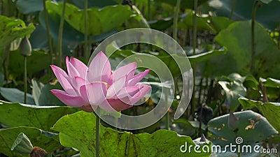 Belles fleurs de lotus clips vidéos