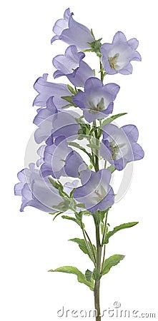 Free Bellflower Stock Photos - 24845303