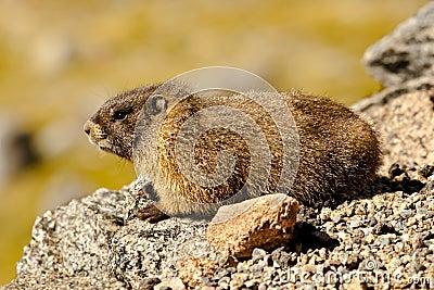 Bellied желтый цвет marmot