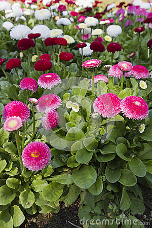 Free Bellis Perennis Daisy In The Garden Royalty Free Stock Photos - 68730788