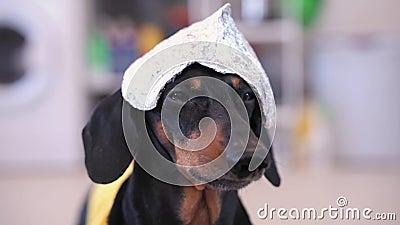 Bello cane da padiglione con cappello di carta e maglietta gialla che guarda la telecamera, abbaiando e lasciando il telaio a cas archivi video