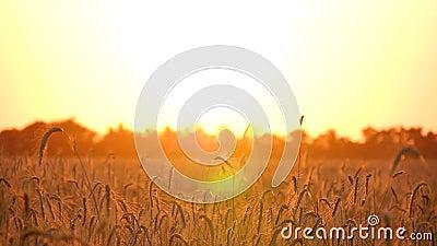 Bello paesaggio dorato in un campo di grano I raggi solari passano attraverso i fusti del grano maturo Agricoltura Il video d archivio