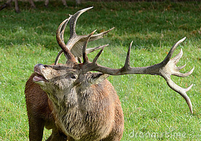 Bellowing Red Deer Stag
