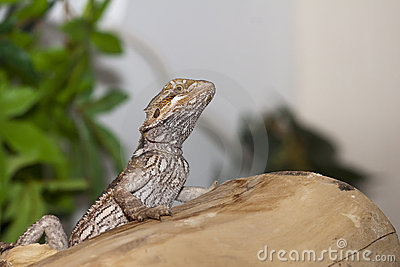 Belly markings of a bearded dragon