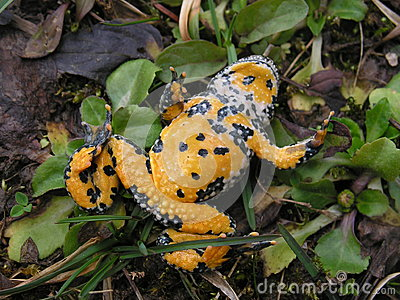 Yellow-belly Toad, Bombina variegata