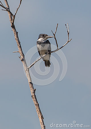 Belted Kingfisher on dry branch