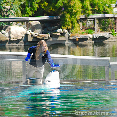 Beluga Whale and her trainer Editorial Image