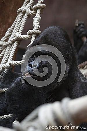 Bemused Eastern gorilla