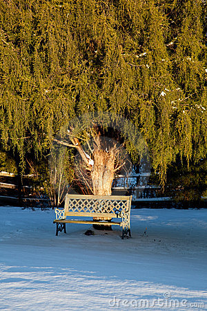 Bench under large conifer tree