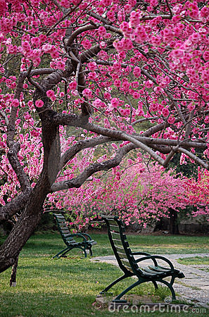 Bench under peach tree in spring