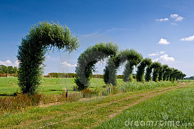 Bended willow trees in a line in the countryside