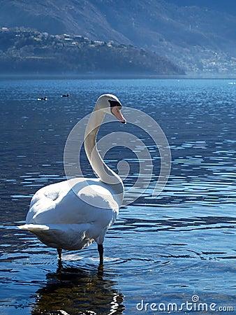A benevolência da cisne