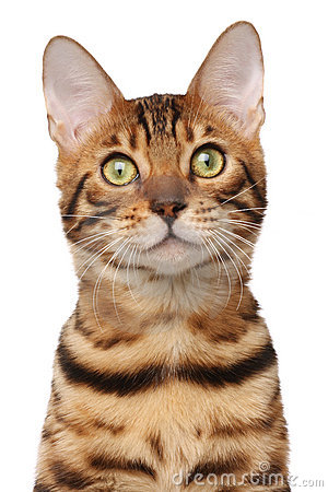 Free Bengal Cat Stock Photo - 11335110