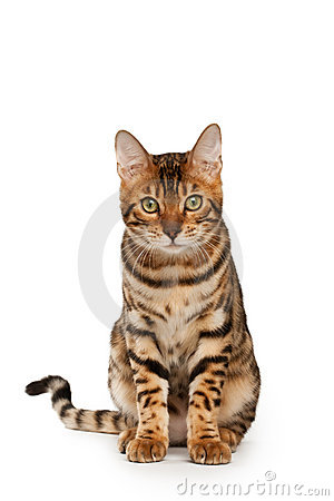 Free Bengal Cat Stock Images - 11335224