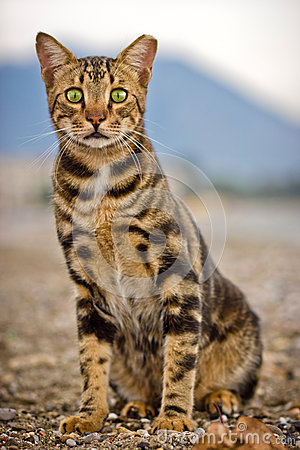Free Bengal Cat Royalty Free Stock Photography - 27446917