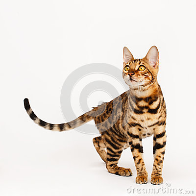 Free Bengal Cat Royalty Free Stock Images - 53217479