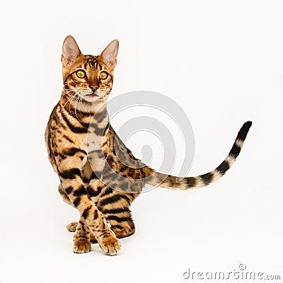 Free Bengal Cat Royalty Free Stock Photos - 53217488