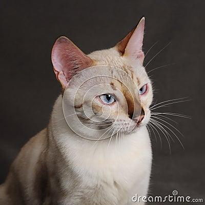 Bengal cat head