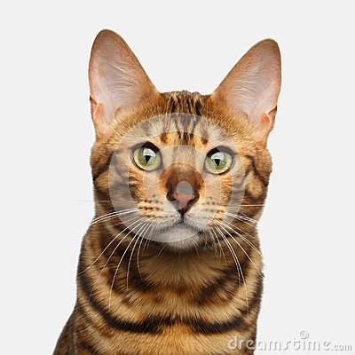 Free Bengal Cat Isolated On White Background Stock Photography - 103863592