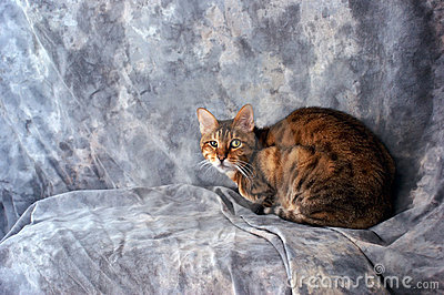 Bengal cat looking at viewer