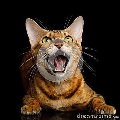Free Bengal Cat On Black Background Royalty Free Stock Photo - 105219875