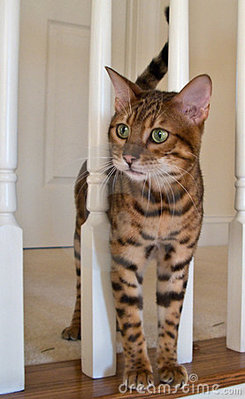 Free Bengal Cat On Stairs Stock Image - 4802841