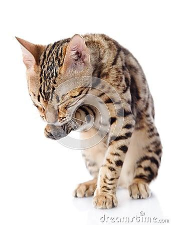 Bengal Cat washing itself.