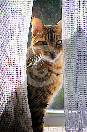 Bengal cat in window