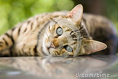 Du oder deine Haustiere als WaCa Katze! (Hilft bei langeweile!) - Seite 2 Bengal-katze-thumb10434981