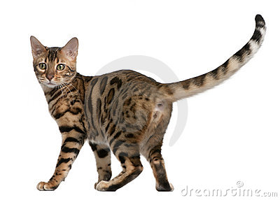 Bengal kitten, 5 months old