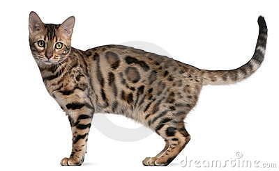 Bengal kitten, 5 months old
