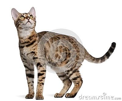 Bengal kitten, 6 months old