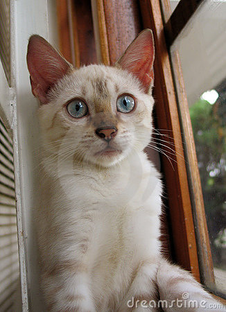 Bengal kitten portrait