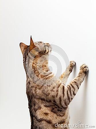 Bengal kitten reaching up a wall