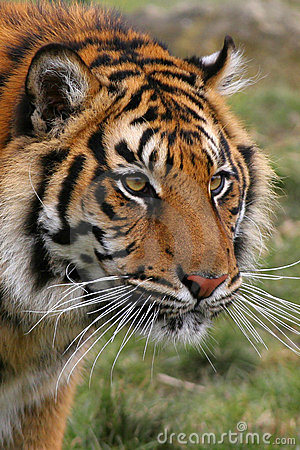 Free Bengal Tiger Royalty Free Stock Photography - 2412137