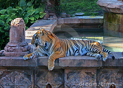 Bengal Tiger at Animal Kingdom