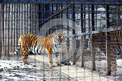 Bengal tiger in cage