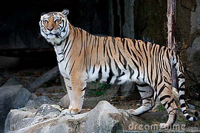 Bengal Tiger (Indian Tiger)