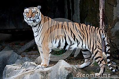 Bengal Tiger (Indian Tiger)