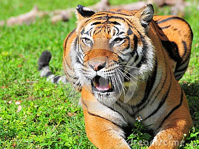 Bengal tiger mouth open
