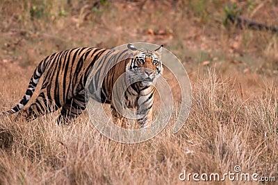 Bengal Tiger (Panthera tigra)