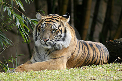 Bengal Tiger relaxing in the sun