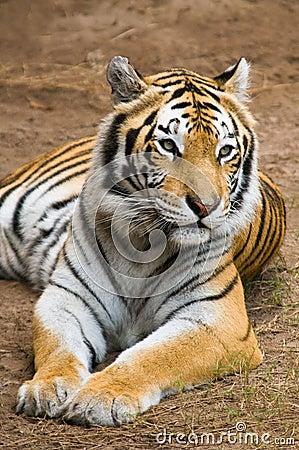 Free Bengal Tiger Resting Royalty Free Stock Photos - 12248468