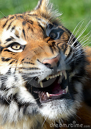 Bengal Tiger Snarling
