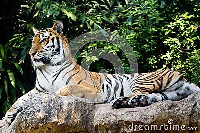 Bengal tiger staring at something